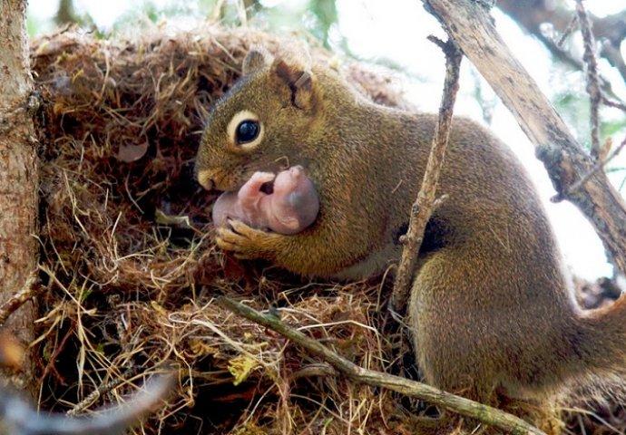 mlada crna vjeverica