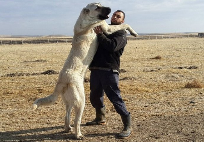 Image result for kangal pas