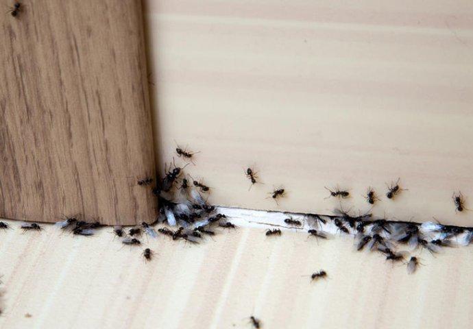Rezultat slika za mravi u kuci